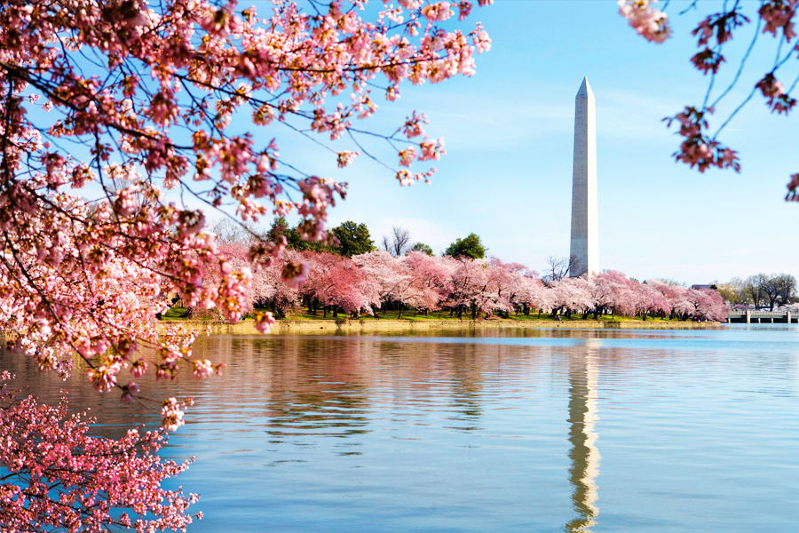 Pictures Of Cherry Blossom Trees In Dc